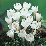Krokus Zwiebeln Jeanne d'Arc - 15 Blumenzwiebeln (Crocus) - Krokusse zum Pflanzen, mehrjährig, winterhart mit Blumen-Blüten in strahlendem weiß mit orangen Staubgefäßen von Garten Schlüter