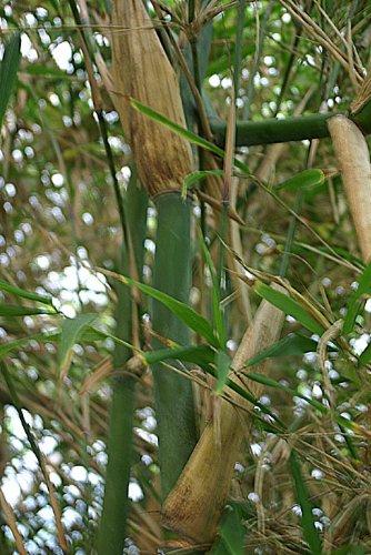 Bambus Fargesia yunnanensis (Borinda yunnanensis) 50 Samen