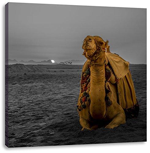 Kamel in ägyptischer Wüste bei Sonnenaufgang B&W Detail, Format: 70x70 auf Leinwand, XXL riesige Bilder fertig gerahmt mit Keilrahmen, Kunstdruck auf Wandbild mit Rahmen, günstiger als Gemälde oder Ölbild, kein Poster oder Plakat - Sonnenaufgang In Der Wüste Fertig