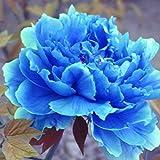 Yukio Samenhaus - 5 Stück Pfingstrose Saatgut duftend Blumenmeer mehrjährig winterhart für Garten-Terasse-Balkon