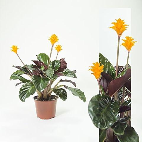 Inter Flower - Schattenpflanze mit leuchtenden Blüten - Calathea crocata 40cm+/- Korbmarante