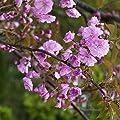 Japanische Blütenkirsche rosa blühend, 2 Sträucher von Amazon.de Pflanzenservice - Du und dein Garten