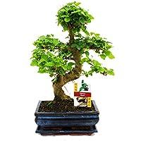 Vasi bonsai giardino e giardinaggio for Vasi bonsai plastica