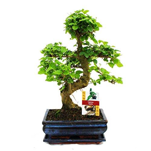 bonsai-chinesischer-liguster-ligustrum-sinensis-ca-8-jahre
