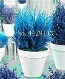 IDEA HIGH Samen-Garten Topfpflanze 30 Stück seltene blaue Zypresse Bonsai-Baum, Bonsai für Blumentopf Pflanzgefäße: 8
