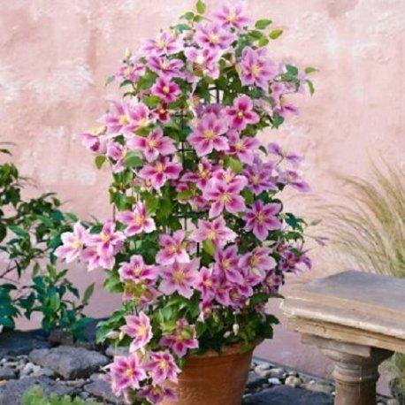 Clematide piilu (per muri e recinzioni, pergola, patio, balconi e terrazze) - vaso 1,5 litro (pianta rampicante - clematis rosa - pianta adulta) | clematisonline