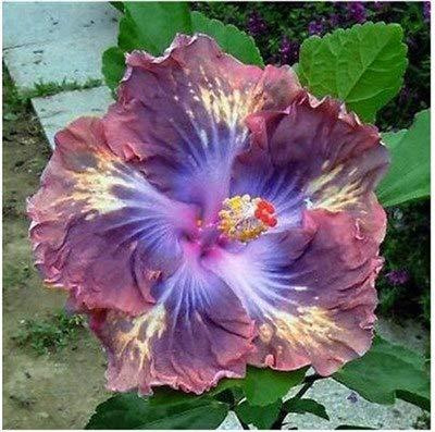 Pinkdose Im Angebot!!!200 stücke Hibiskuspflanzen 24 arten HIBISKUS ROSA-SINENSIS Blume Planta HibiscusTree Pflanzen Seedsfor Blumentopfpflanzen: 5