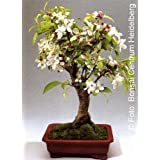 Tropica Bonsai manzana ornamento (Malus Halliana) - 30 semillas