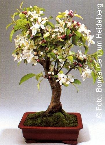 Tropica - Bonsai - Zierapfel (Malus Halliana) - 30 Samen