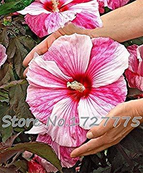 100 Riesen-Hibiskus-Blumensamen Hardy, mischen Farbe, DIY Hausgarten vergossen oder Hof Blume Pflanze,