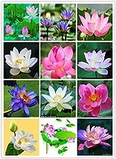 Bee Garden Organic Lotus Flower Seeds ( Mixed Varieties 20 Seeds Pack)