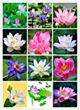 #6: Bee Garden Organic Lotus Flower Seeds ( Mixed Varieties 20 Seeds Pack)
