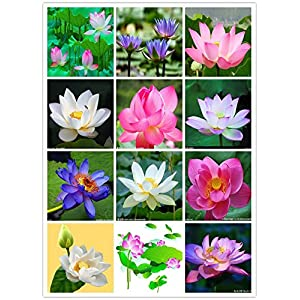 Bee Garden Organic Lotus Flower Seeds ( Mixed Varieties 20 Seeds Pack)