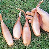"""200 semi di Scalogno""""Zebrune"""" - Heirloom scalogno dalla Francia, impianto altamente produttivo. Organico, non trattato!"""
