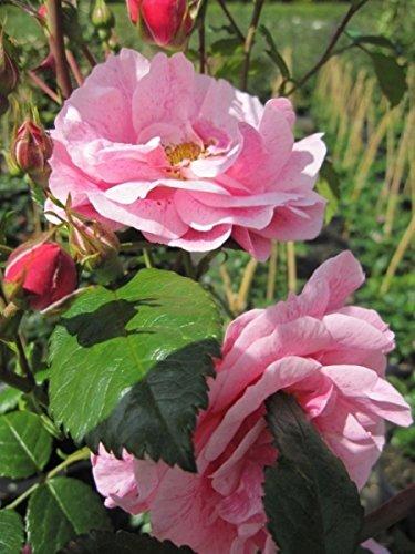Kletterrose Camelot® - Rosa Camelot® - zartrosa - Duft++ - Tantau-Rose - ADR-Rose -
