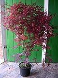 Roter Fächer-Ahorn, Höhe: 130-140 cm, rote Blätter, Acer palmatum