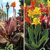Portal Cool Canna Lily! Frische Samen einer Große Mischung von Hybriden Bis 8Ft Hoch! Mischfarben