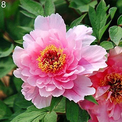 luo-401xx semi di fiori di peonia 20 pezzi vari, bella pianta da balcone bonsai facile da coltivare per la decorazione del cortile del giardino di casa 8#