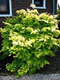 goldoranger japanischer Fächerahorn Acer palmatum Orange Dream 80-100 cm hoch im 7,5 Liter Pflanzcontainer