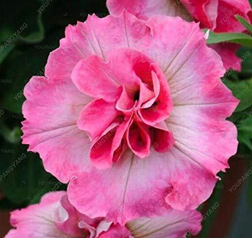 Go Garden Lot de 200 pétunias de bonsaï pour Jardin Bonsaï Lune Nuit Ciel Double Fleurs Violet Ciel Noir Petunia Haute Germination Prune