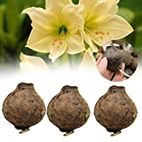 Samen Paket: 2362 3Pcs / Bagyellow Amaryllis Hippeastrum Zwiebeln Seed-Hausgarten-Dekor-