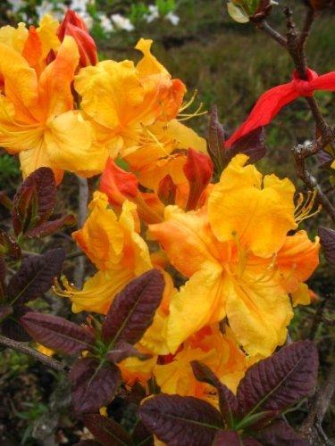bronzegelb blühende Garten Azalee Rhododendron luteum Klondyke 50 - 60 cm hoch im 5 Liter Pflanzcontainer