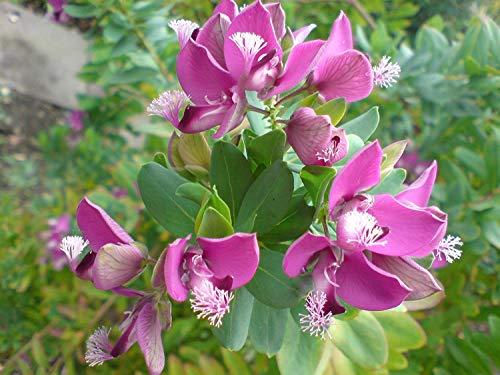 Farmerly Polygala Myrtifolia 10 Samen, Milkwort Sweet Pea Strauch/Myrtle-Blatt Bush -