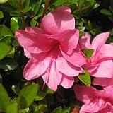 Rhodendrum indicum - Azalea - Maceta de 15cm . 20cm de altura - Rosa