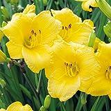 Taglilie Stella d'Oro- Hemerocallis -Im 2 Liter Container - Lilien Zierpflanze, winterhart zum Pflanzen, farben-frohe Blüten, mehrjährig - Top Qualität von Garten Schlüter