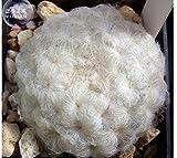 PLAT FIRM GERMINATIONSAMEN: Mammillaria Plumosa Feder Kakteensamen, 10 Samen