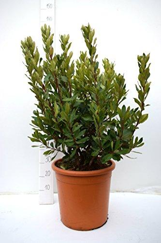 Arbutus unedo - Erdbeerbaum - attraktive Kübelpflanze - verschiedene Größen (110-130cm - Ø 40)