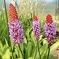 lichtnelke - Orchideenprimel ( Primula vialii ' Red Hot Poker ' ) von Lichtnelke Pflanzenversand bei Du und dein Garten