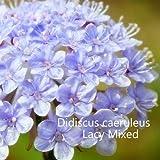 Didiscus caeruleus Seeds. Mixed Didiscus