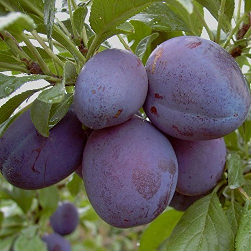 Pflaumenbaum Stanley LH 120 - 150 cm, Pflaumen blau-violett, Busch, im Topf, Obstbaum winterhart, Prunus domestica