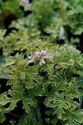 Kräuterey : Duftgeranie Lady Plymouth - Pelargonium graveolens - Pflanze - Bioland von Kräuterey - Du und dein Garten