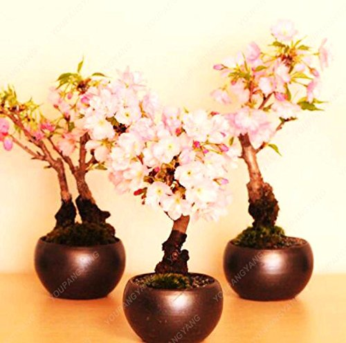 20 graines / paquet de graines de sakura japonais bonsaï ornement graines de cerisier fleurs de cerisier pour la maison et le jardin blanc