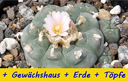 SAFLAX - Anzucht - Set - Kakteen - Peyotl Kaktus (Lophophora williamsii) - 20 Samen - Mit Gewächshaus, Anzuchtsubstrat und Töpfen
