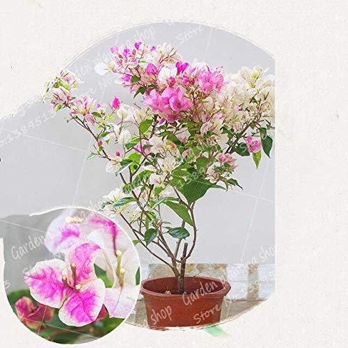 ferry 50pcs / bag bouganville bonsai fiore pianta messa a dimora in vaso giardino di casa decorazione albero pianta bouganville fiore: 6