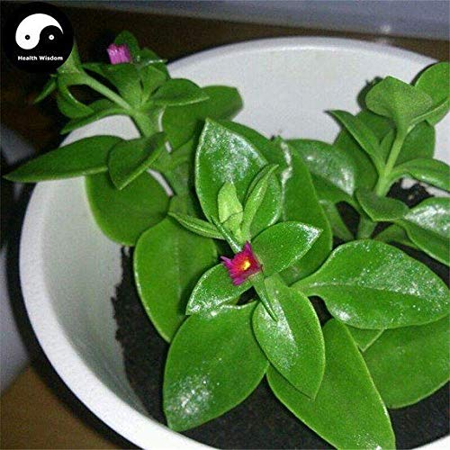PLAT FIRM KEIM SEEDS: 150pcs: Kaufen lbatus Gemüse Samen Pflanze Wildgemüse Calcium Andrographis