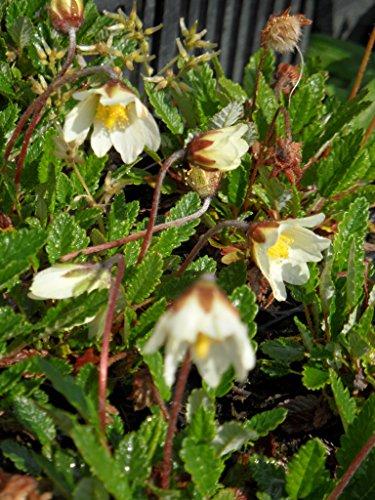 Dryas x suendermannii - Garten-Silberwurz, 3 Pflanzen im 7/6 cm Topf