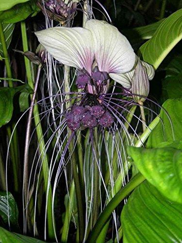 1000 Samen Tacca integrifolia, Fledermausblume, Teufelsblume