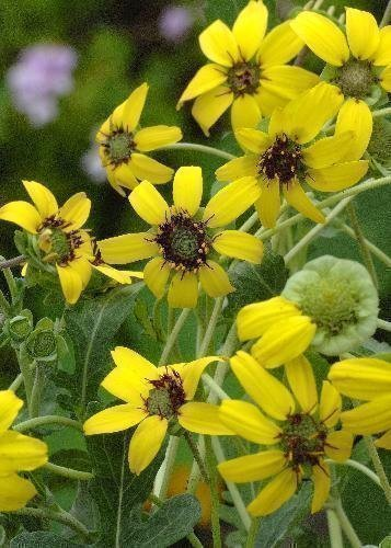 Tropica - Kräuter - Schokoladenblume (Berlandiera lyrata) - 10 Samen