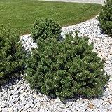Krummholz Kiefer - Pinus mugo mughus - Immergrün