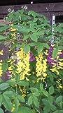 Goldregen Laburnum watereri Vossii 100 - 125 cm hoch im 7,5 Liter Pflanzcontainer