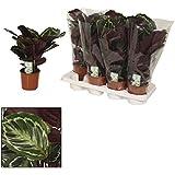 Schattenpflanze mit ausgefallenem Blattmuster - Calathea Medailon - 14cm Topf - ca. 50cm hoch