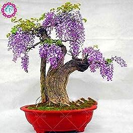 Fash Lady 5cs fiore perenne glicine vite rampicante bonsai albero arrampicata rattan glicine fiore per giardino di casa…