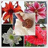 Big Vrai Amaryllis Bulbes Plantes d'intérieur et d'extérieur Fleurs en Pot, Bulbes taux de Survie est élevé (Pas de graines) -1 Ampoules Mix