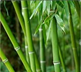 #8: 40 Seeds Small Green BAMBOO/ DENDROCALAMUS CALOSTACHYUS SEEDSBAMB0004