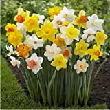 #10: DAFFODIL - POT VARIETY FLOWER BULB - MIXED COLOR PACK OF 5 BULBS SOLD BY SUPER AGRI GREEN