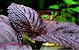 Japanische Basilikum/Perilla Frutescens Kräuter, Fresh Purple Shiso, 50 Samen